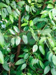 canela-cinnamomum-verum_8
