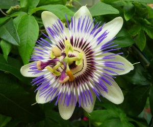 flor-de-pasiflora-i-web1