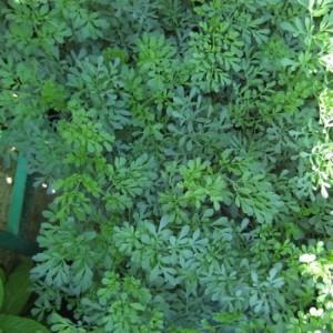 planta-de-ruda-en-maceta-de-14-centmetros-3081547___3081547